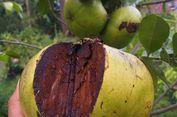 Black Sapote, Buah Asal Meksiko yang Rasanya Mirip Puding Cokelat