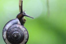 LIPI Temukan 16 Spesies Baru Keong Darat dari Berbagai Daerah di Jawa