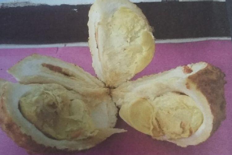 Durian si gundul, durian unik yang tak memiliki duri pada kulitnya. Durian ini ditemukan di alam liar oleh tim eksplorasi BPSBP NTB.