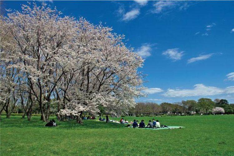 Nikmati memandangi sakura sambil makan siang di lapangan rumput