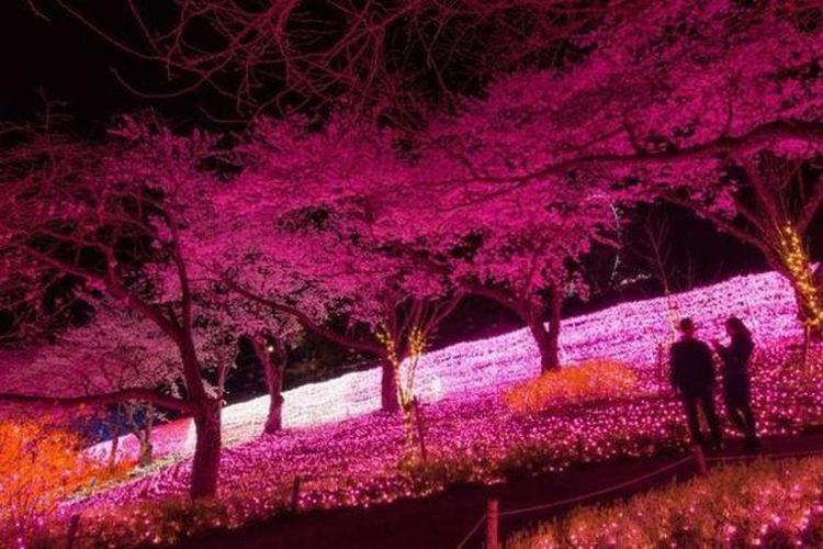 """Menikmati pemandangan bunga sakura & iluminasi dari balon udara """"Sagamiko Resort Pleasure Forest""""."""