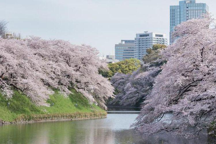 Sakura mekar dengan indahnya di sepanjang sungai