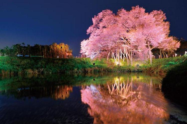 Satu pohon Sakura berumur 100 tahun dengan pemandangan yang luar biasa dan indah