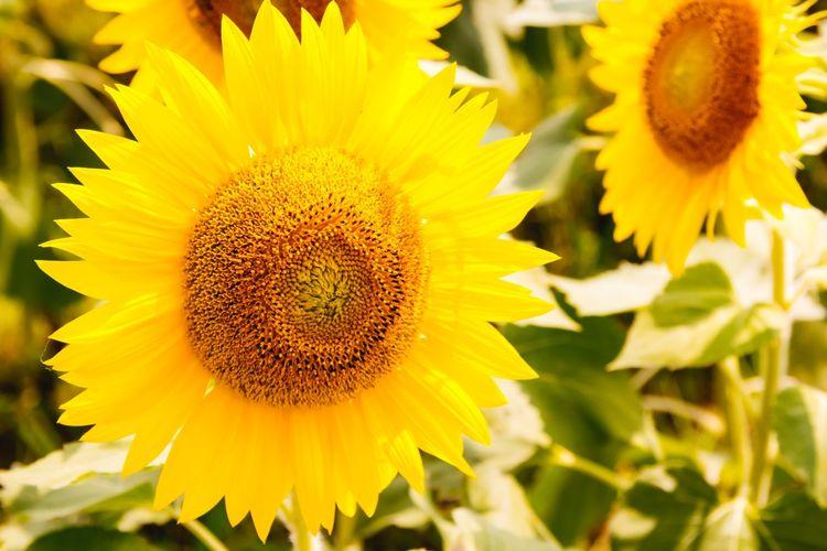 Bunga matahari mekar saat musim panas