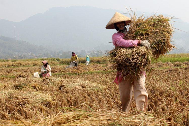 Seorang petani tengah memanen padi di wilayah Cibeber, Cianjur, Jawa Barat, Selasa (02/07/2019). Petani setempat mengaku produksi padi menyusut hingga 50 persen akibat kemarau dan tanggul jebol.
