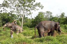 Gajah Jinak Giring Gajah Liar Keluar dari Perkebunan Warga di Riau