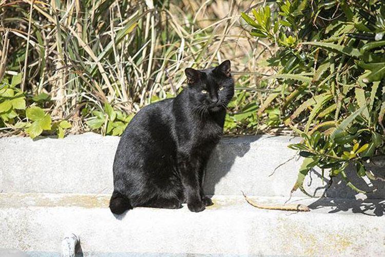 Kucing hitam di Mercusuar Jogashima tengah berjemur sinar matahari untuk menghangatkan diri dari dinginnya udara.
