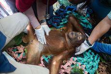 Penyelamatan Orangutan Bernama Riam dan Habitatnya yang Rusak di Ketapang