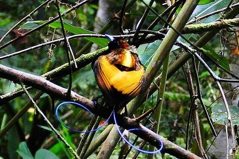 Mengamati Burung Cenderawasih di Tambrauw, Ada Triknya...