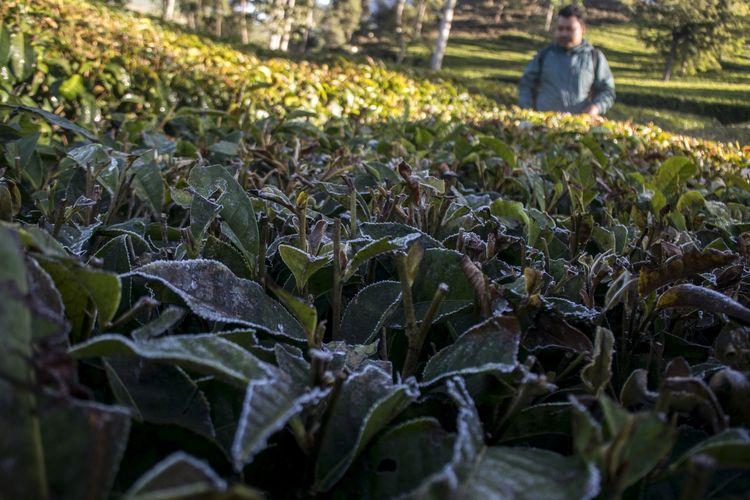 Warga mengamati fenomena lapisan embun es (beku) yang menyelimuti daun teh di Kebun Teh, Kertasari, Kabupaten Bandung, Jawa Barat, Kamis (18/7/2019). Fenomena embun es tersebut telah terjadi sejak beberapa waktu lalu di sejumlah kawasan di Kertasari akibat kondisi suhu yang mencapai 8 hingga 3 derajat celsius saat musim kemarau.