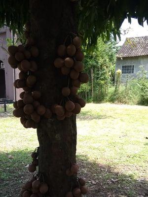 Pohon kepel yang hanya tumbuh di istana atau keraton
