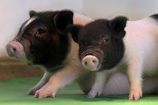 Transplantasi Organ Babi ke Manusia Diperkirakan Terjadi dalam 2 Tahun