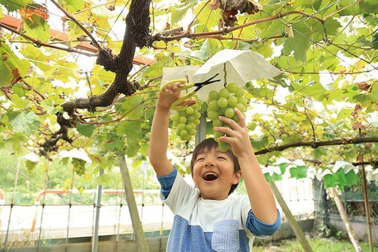 Buah anggur jenis Shine Muscat ini akan membuat kamu tersenyum.