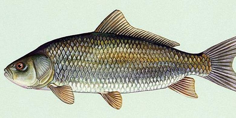 ilustrasi ikan Bigmouth Buffalo