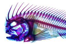 Banyak Dibudidayakan di Indonesia, Ikan Batu Punya Senjata Tersembunyi