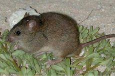 Australia Umumkan Kepunahan Satu Spesies Hewan Pengerat
