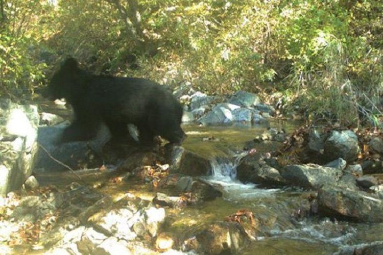 Beruang hitam Asia yang langka terlihat berada di Zona Demiliterisasi (DMZ) yang memisahkan Korea Utara dan Korea Selatan. (Kementerian Lingkungan Korea Selatan via Korea Times)
