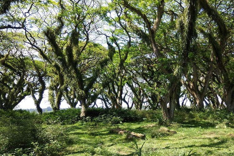Pepohonan trembesi yang bisa dilihat di Hutan De Jawatan yang terletak di Desa Benculuk, Kecamatan Cluring, Kabupaten Banyuwangi, Jawa Timur, sekitar 45 kilometer dari pusat kota Banyuwangi.
