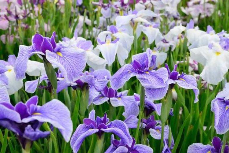 Bunga sejenis iris memiliki berbagai macam warna dan bentuk