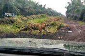 Harimau Bonita Bertahan di Hutan, Petugas Berpatroli di Perlintasan