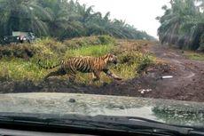 Berita Populer: Harimau Bonita yang Misterius dan Kisah Bulan Merindukan Kursi Roda