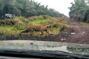 Harimau Bonita yang Misterius, Bangun Lagi Setelah Ditembak hingga Peluru Petugas yang Terus Mental