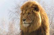 Duel Maut, Mojo Si Singa Jantan Mati Diserang Singa Betina
