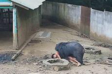 Ingin Memberi Makan, Pria Thailand Nyaris Tewas Diserang Beruang