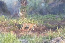 Harimau Bonita Kembali Muncul di Kebun Sawit, Warga Diimbau Waspada
