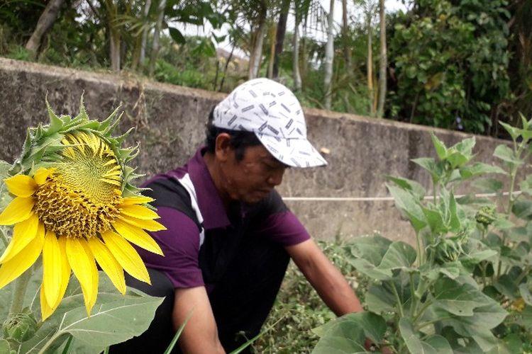 Ozi (45) petani bunga matahari di lahan pinggir Kali Pesanggrahan, Srengseng, Jakarta Barat pada Rabu (10/10/2018).