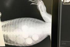Berniat 'Mencuri' Telur Ayam, Goana Australia Malah Telan 6 Bola Golf