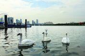 Singapura 'Pelihara' Robot Angsa untuk Awasi Kualitas Air