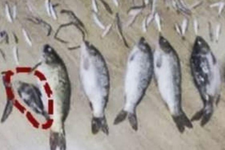 Seorang pria di China harus menjalani hukuman tiga tahun penjara karena telah menangkap dan membunuh seekor ikan kecil langka. (SCMP)