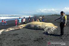 Bangkai Paus Sepanjang 11 Meter Terdampar di Pantai Bambang Lumajang