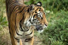 Kebun Binatang London Ungkap Momen Saat-saat Melati Diterkam Pejantan