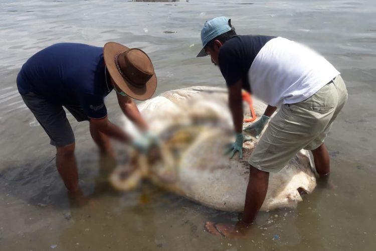 Peneliti dari Universitas Pattimura Ambon Prof Dr Jacobus Wilson Mosse saat membedah bangkai ikan mola yang terdampar di Teluk Ambon, Senin (1/4/2019). Dalam pembedahan itu ditemukan sebuah benda misterius di dalam usus ikan mola tersebut.