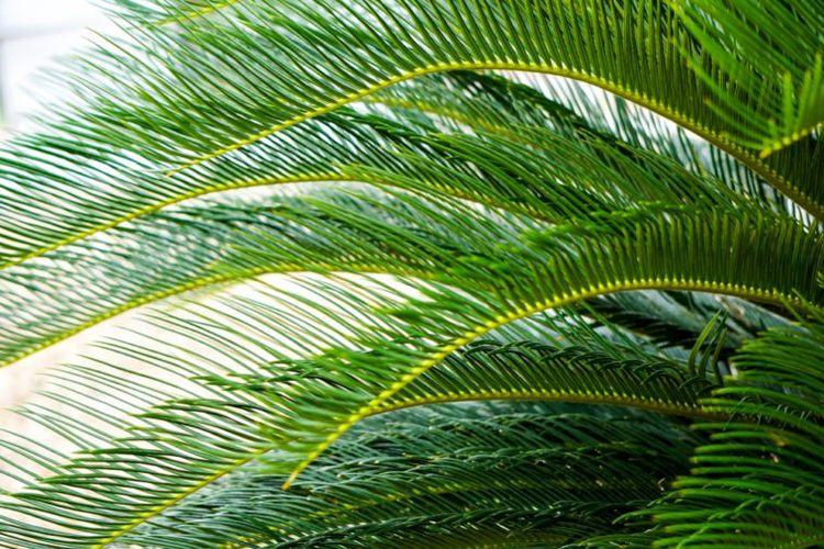 Dward Date Palm