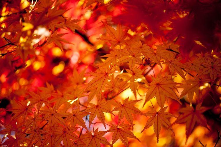 Ilustrasi dedaunan musim gugur.