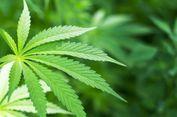 Demi Keperluan Medis, Thailand Legalkan Mariyuana