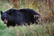Seekor Beruang Masuk Rumah Penduduk, Serang Nenek 71 Tahun