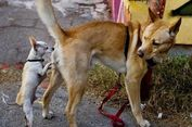 Mengapa Anjing Suka Makan Kotorannya Sendiri?