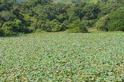 Satu Hektar Areal Danau Teratai Rana Tonjong Hangus Terbakar