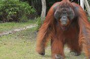 Wisatawan Harus Semakin Patuhi Etika Bertemu Orangutan