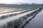 Ini Cara Petani Bawang Merah Tetap Produktif saat Musim Hujan