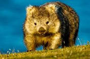 Australia Minta Pengunjung Pulau Maria Tidak Swafoto dengan Wombat