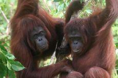 8 Orangutan Jadi Murid Pertama Sekolah Hutan, Belajar Apa?