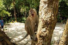 Selain Manusia, Inovasi Primata Muda Juga Dibuktikan oleh Monyet Ini