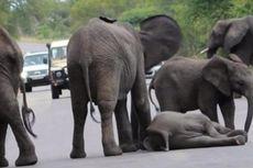 Kehilangan Belalainya, Bisakah Anak Gajah Ini Bertahan Hidup?