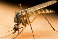 Jamur Ini Hasilkan Racun Laba-laba untuk Bunuh Nyamuk Malaria