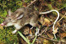 Tikus-tikus di Indonesia Ini Punya Tampilan Unik, Seperti Apa?